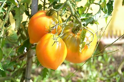 20 Graines /seeds de tomate happyjack Bio