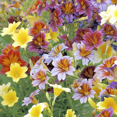 Painted Tongue, Scalloped Tube Tongue, Salpiglossis sinuata Mix 50 seeds
