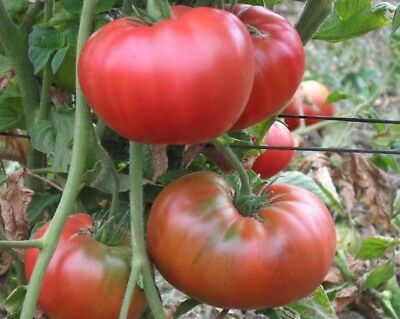 20 Graines / seeds de tomate west virginia Bio