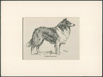 COLLIE ROUGH COATED OLD 1912 DOG ART PRINT by ARTHUR WARDLE READY MOUNTED
