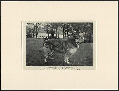 Collie Rough Coated Old Antique 1901 Named Dog Print Ready Mounted