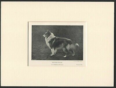 Collie Rough Coated Old Antique 1904 Named Dog Print Ready Mounted