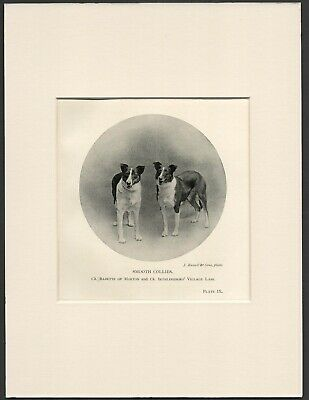 Smooth Collie Named Dogs Old Antique 1904 Dog Print Ready Mounted