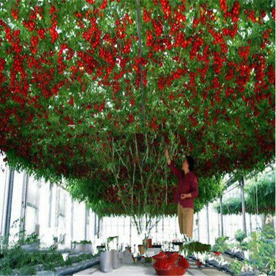 200 Heirloom Giant Tomato Tree Seeds Healthy Delicious Nutritious Edible Fruits