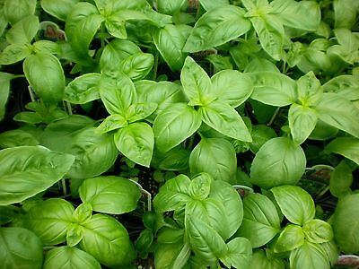 1/2 oz Sweet Basil Seeds, Genovese, Bulk Herb Seed, Heirloom Non-Gmo, about 8000