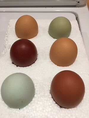 12 x Fertile Hatching Chicken Eggs - Pick And Mix Pure Breeds *summer Special*