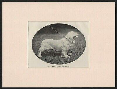 Clumber Spaniel Old Antique 1904 Named Dog Print Ready Mounted