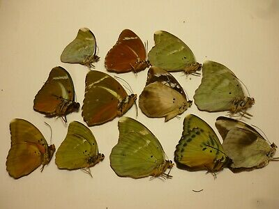 Real Butterfly/Moth/Insects Non Set/Set B4636 Rare Euphaedra x 12