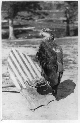 'Old Abe' eagle,mascot of the 8th Wisconsin Infantry,c1863,Civil War troops