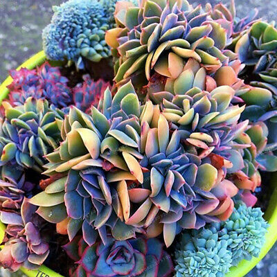 100pcs Japanese Succulents Seeds Rare Indoor Flower Mini Cactus Seeds Fleshier