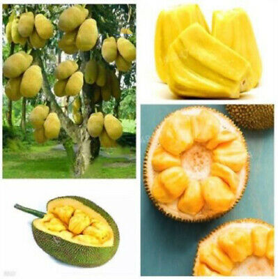 Oraganic Fresh JackFruit Seeds Tropical Worlds Largest Tropical Fruit seed