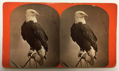 OLD ABE Civil War Mascot STEREOVIEW Bald Eagle Wisconsin 101st Airborne LINCOLN