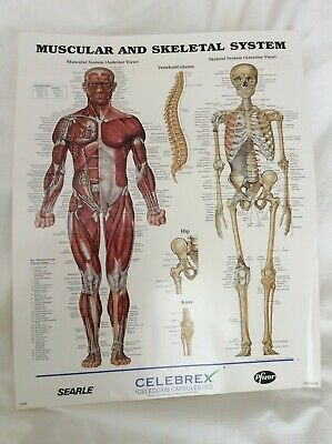 """Human Body Anatomical Chart Muscular and Skeletal System 14""""x11"""" Poster"""