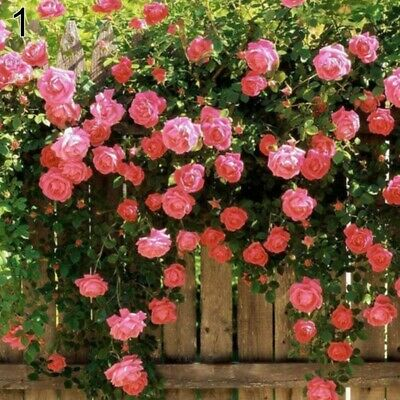 100PCS Climbing Rose Seeds Rosa Multiflora Perennial Fragrant Flower Pink Red