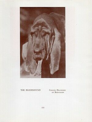 Bloodhound Head Study Old Vintage 1934 Named Dog Print Page