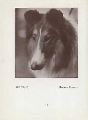 Rough Collie Head Study Old Vintage 1934 Named Dog Sepia Page Print