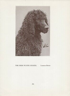 Irish Water Spaniel Head Study Old Vintage 1934 Named Dog Page Print
