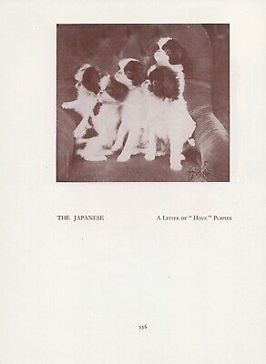 Japanese Chin Puppies From The Hove Kennels Old Vintage 1934 Dog Page Print