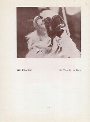 Japanese Chin Head Study Old Vintage 1934 Named Champion Dog Page Print
