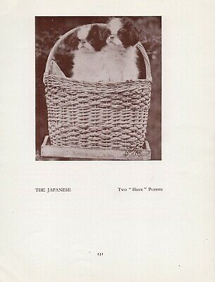Japanese Chin Puppies In A Basket Old Vintage 1934 Dog Page Print