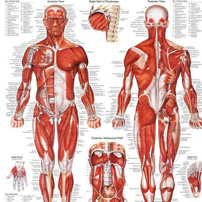 Muscular System Anatomical Poster Print Laminate Muscle Anatomy Chart Human Body