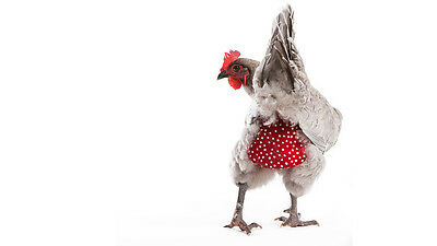Chicken Diaper - Chook Nappy - Large Size