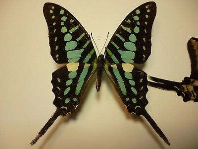 Real Butterflies/Insects non set B3344 Brite Blue African Graphium policenes 7cm