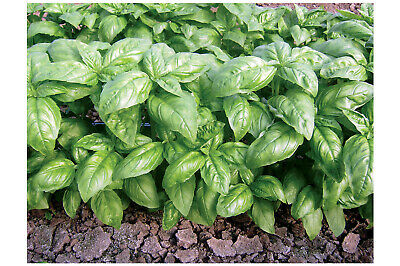 Dolly Basil * 200 Seeds * Compact Genovese * Free Shipping