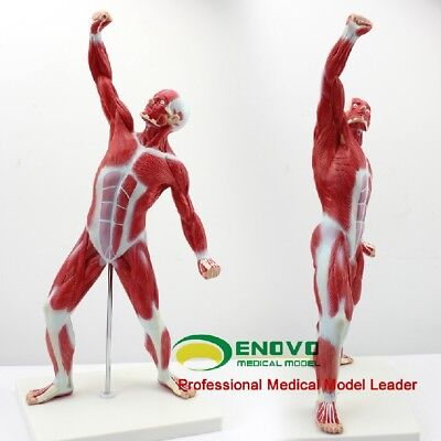 "52cm/21""Muscle Anatomy Medical Mini Desktop Full Body Human Muscle Anatomy Model"