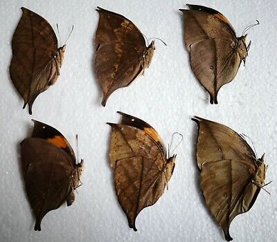 Butterflies 6PCS unmounted Kallima inachus 2017 LEAF Butterfly Nymphalidae 0312A
