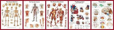 Human Anatomy Anatomical Medical Life A4 A3 A2 A1 Posters Wall Buy 1 Get 2 Free