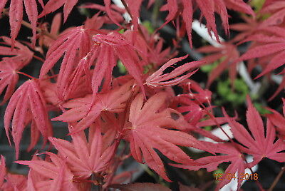 Dwarf Japanese Maple Kandy Kitchen Pre Bonsai Thick Twin Trunk Red