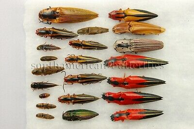 LOT OF 22 MIXED ASSORTED ELATERIDAE SPP. UNMOUNTED A1 BEETLES 22sp