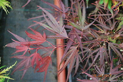 Japanese Maple Enkane 17 00 Picclick
