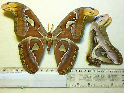 Real Butterfly/Moth dried insect specimens Non Set  Attacus atlas Large male A+
