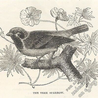 Tree Sparrow: antique 1866 engraving print - bird picture animal, drawing nature