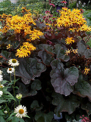 New: Lush Ligularia Choice Collection (Leopard Plant) Mix  Seed  Free P&P