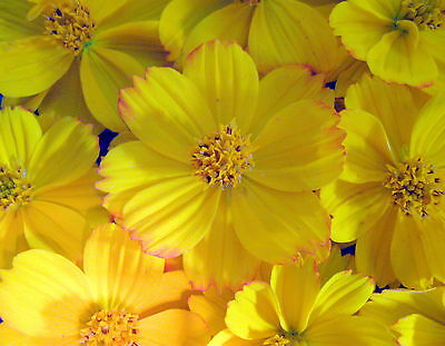 Cosmos Flower 250 SEEDS Sulphur Bright Lights Attracts Bees Buttetflies A11