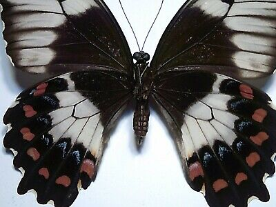Real Butterfly/Insect Set-Spread B4858 Australian Rare Papilio anactus  6.5 cm