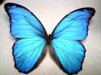 Real Butterfly/Insect Set/Spread.B4866 Large Blue Morpho didius Lima 16 cm A+