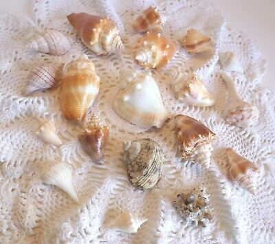 Beautiful Lot Of Conch Sea Shells 19 pieces Seashells Small to Medium Size