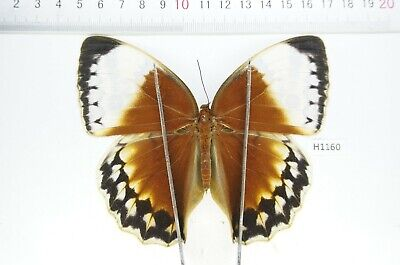 H1160- Unmounted butterfly Stichophthalma Beetle Real Insect central Vietnam