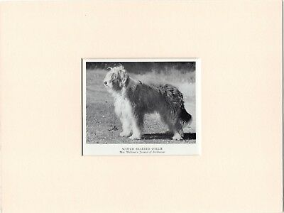 BEARDED COLLIE OLD 1950's NAMED DOG PRINT MOUNTED READY TO FRAME
