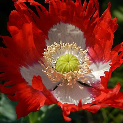 Papaver 'Danish Flag' - 2000 Seeds - Poppy Flower - Hardy Annual