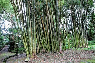 250 GIANT INDIAN BAMBOO SEEDS of Bambusa Bambos, UK Stock, Bulk Deal