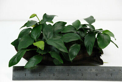 Anubias nana  on driftwood Med -  Live Aquarium Plant -  Aquascaping