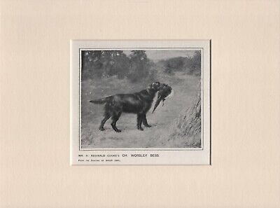 Flat Coated Retriever Old Antique 1912 Named Dog Print Ready Mounted