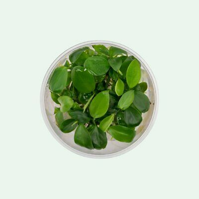 Anubias berteri - Live Aquarium Plants In Vitro -  Aquascaping