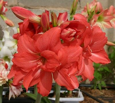 1 Bulb~DOUBLE AMARYLLIS ZOMBIE®~PINK~South African~Christmas Blooms~Fast Force