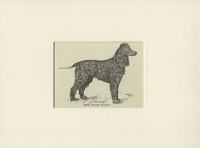 IRISH WATER SPANIEL OLD ANTIQUE 1912 DOG PRINT by ARTHUR WARDLE READY MOUNTED